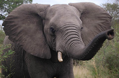When elephant steps on a trap, no more trap  (~Ranveig Marie~) Tags: africa morning travel trees wild elephant tree nature animal fauna southafrica mammal eyes branch threatening african wildlife teeth natur ears safari tropical vegetation stare trunk afrika shrub elefant za mammalia rsa kruger africanelephant limpopo tusk savanna bigfive gamedrive big5 gamereserve savanne tropisk snabel elephantidae thebigfive thebig5 srafrika afrikansk klaserie pattedyr klaseriegamereserve greaterkruger nthambo nthambotreecamp de5store defemstore stttenner stttann