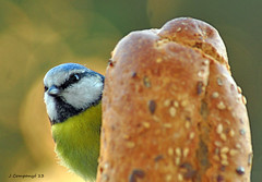Mallerenga blava - 112b (Pep Companyo - Barral) Tags: birds animals fauna natura aves pajaros aus oiseaux ocells josep ornitologia mallerenga companyo mallerengues barralo