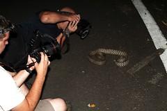 Elaphe carinata (Kevin Messenger) Tags: china canon photography rat kevin king reptile snake wildlife taiwan 7d messenger snakes reptiles elaphe 2012 ratsnake herpetology colubrid colubridae baling carinata kevinmessenger