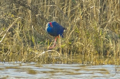Polla blava / Purple Swamphen (SBA73) Tags: bird purple au catalonia ave catalunya pajaro coot purpleswamphen porphyrioporphyrio llobregat moorhen aiguamolls ocell parcnatural deltadelllobregat maresma pollablava lesfilipines
