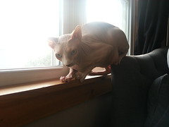 Day 359 (January 21, 2013) (frecklestars) Tags: sphynx balthazar hairlesscat 366days ailouros flickrandroidapp:filter=none 366days3