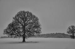 Standing Tall (jzakariya) Tags: bw snow tree nikon alone snowy snowing tall nikkor jawad zakariya d300s