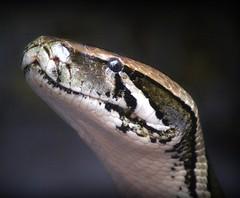 Monty (Jaedde & Sis) Tags: portrait reptile snake potofgold bigmomma pythonmolurus tigerpython beautifulworldchallenges challengefactorywinner thechallengefactory fotocompetition fotobronze fotocompetitionbronze storybookwinner pregamesweepwinner pregameduelwinner