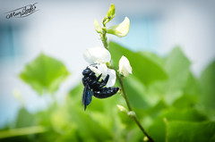 Black Carpenter Bee . (Meer Sadi) Tags: black nikon insects bee iso f56 800 vr carpenter 13200 18105mm d7000