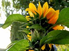 "Feliz quinta flor! (mikazu001 away) Tags: holland ©allrightsreserved concordians lovelymotherearth"" greenbeautyforlife johancarmen"