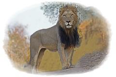 Lions King (Sonnenblume) Tags: tiere king wildlife natur safari lions sdafrika bigfive sugetier morgenstimmung abenteuer tierwelt raubtier wildetiere afrikas freiewildbahn grsstes copyrightkatharinaagner