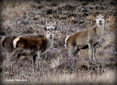 Red Deer Hinds - Scottish Highlands (Ally.Kemp) Tags: red wild scotland highlands scottish deer hind hinds