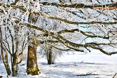 ~~ Horizontal ~~ (Jolisa) Tags: winter snow tree horizontal nikon branches hiver explore neige arbre ombres croquenature lovelyflickr goldenachievement janvier2013