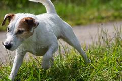 Anton (Oliver Kuehne) Tags: anton chien hund dog pet jackrussellterrier creek bayern bavaria germany woringen pentaxk3 20160717 july