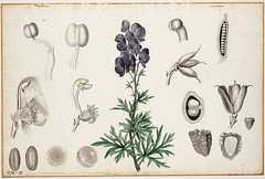 Monk's-hood, aconite, wolfsbane (Swallowtail Garden Seeds) Tags: illustration drawing sketch plant flowers vintage botanical diagram chart leaves foliage ovary styles stigma anther publicdomain swallowtailgardenseeds aconitum monkshood blue perennial 19thcentury