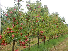 DSCN0381 (mavnjess) Tags: 1 may 2016 cripps pink lady apples orchard red black white bw sacha cin lucinda giblett cooking hibiscus compost composting compostbays chestnuts chestnut tree train carriages rainbow trolley bus trolleybus carriage
