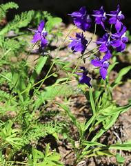 Delphinium_menziesii_McKenzie_6_2 (Mark Egger) Tags: delphiniummenziesii ranunculaceae delphinium menziesii var pyramidale
