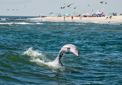 Baby Dolphin off the Coast of Cape May New Jersey (Daveyal_photostream) Tags: nikon nikor nature newjersey meandmygear mygearandme mycamerabag motion movement outdoor ocean outdoors outside sea coast coastline shore jump dolphinjumping gotair beautiful beauty awesomeshots amazing animals fun wildwoodnewjersey capemay soniagallery bambino loveofnature beachlife retired boattour fins animal mamal beach umbrellas shoreline actionshot action raw photoshop lightroom zoomlens bokeh inthewild opensea seascape natural love sweet nice thebest worldphotographyday seagulls