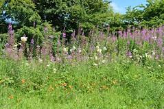 Kilmarnock-Irvine Cycle Path. Range of Flowers. (Phineas Redux) Tags: ayrshirescenes kilmarnockirvinecyclepath cyclepaths scottishwildflowers ayrshire scotland