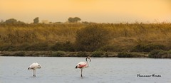 fenicotteri rosa (dwarfphotos) Tags: fenicotteri trapani saline tramonto d5200 nikon 55300