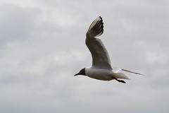 Seagull (Hachimaki123) Tags: animal ave gaviota gaviotareidora bird seagull chroicocephalusridibundus