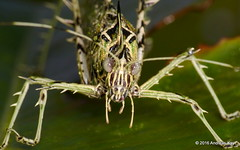 Markia hystrix or arizae? (Ecuador Megadiverso) Tags: book grasshopper katydid lichenkatydid loscedros markiahystrix orthoptera phaneropterinae tettigoniidae tympanum andreaskay ecuador markiaarizae