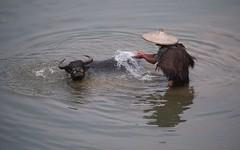 Bathing buffalo (claying) Tags: olympus em5 panasonic lumixgvario100300mmf4056megaois china guangxi guilin    lingui xitang tienxin    buffalo  farmer