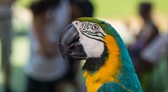 ZON_0025 (Zonnie) Tags: nikon d600 sigma 35 f14 sb700 dof bokeh closeup parrtos birds wildlife animals