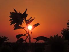 ... beim Sonnenuntergang (Wunderlich, Olga) Tags: sonnenblume rot rgen insel