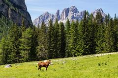 Cavalli liberi (cesco.pb) Tags: valdifassa valcontrin dolomiten dolomiti dolomites sassolungo trentino trentinoaltoadige italia italy canon canoneos60d tamronsp1750mmf28xrdiiivcld cavalli montagna mountains