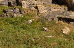 Himalayan Snowcock (Michael Woodruff) Tags: himalayan snowcock himalayansnowcock tetraogallushimalayensis tetraogallus himalayensis nevada ruby mountains august 2016
