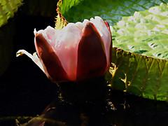 DSCN0401 Sleeping time (Do not distarb) (tsuping.liu) Tags: outdoor organicpatttern nature natureselegantshots naturesfinest plant petal photoborder perspective pattern photoboder aquaticplant