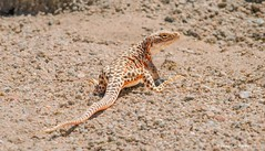 A lovely lady (Photosuze) Tags: leopard lizard reptiles females gravid animals nature orange wildlife desert