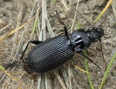 Pterostichus niger carabidae (BSCG (Badenoch and Strathspey Conservation Group)) Tags: gos beetle