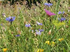 ckuchem-3102 (christine_kuchem) Tags: bienenfreund bienenweide blumen blhstreifen feld felder klee landwirtschaft phacelia schmetterlingsbltler sonnenblumenfeld vogelschutz wiesenblume