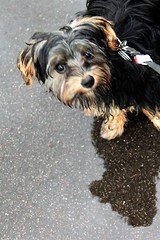Flo Yorkie Poo Puppy Having Fun in Cutts Close Park Oakham After The Storm August Bank Holiday Weekend (@oakhamuk) Tags: flo yorkiepoo puppy having fun cuttsclose park oakham after the storm august bankholiday weekend rutland martinbrookes