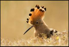 Hoopoe (Arshad Aashraf) Tags: birds birdslover birdsofpakistan birdseyeview d4s birdsphotography wildlifephotographey hoopoe naturephotography naturelover nikon beautiful sialkot headmarala