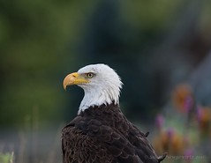 Sitting pretty (Susan Newgewirtz) Tags: americanbaldeagle raptor eagle nikon nikond750 outdoor wildlifephotography august 2016 ontario