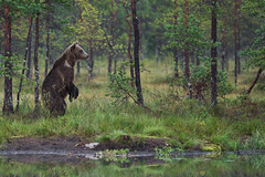 Standing Bear (ToriAndrewsPhotography) Tags: brown bear pond reflections finland photography andrews tori bokeh