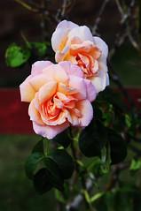 DSC_5572 (PeaTJay) Tags: nikond300s sigma reading lowerearley berkshire macro micro closeups gardens outdoors nature flora fauna plants flowers rose roses rosebuds