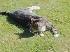 Sophie. (dave p brecks) Tags: cats sophie 239366 olympus75300 olympusem5markii