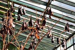 Murciélagos (maiklopes) Tags: argentina temaikèn temaiken buenosaires escobar zoo nature natureza naturaleza animals animal bat morcego murciélago