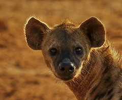 Spotted Hyena Close-up, Etosha, K__37510 (Mike07922, 3 Million+ Views - thanks guys) Tags: etosha namibia africapentaxk3