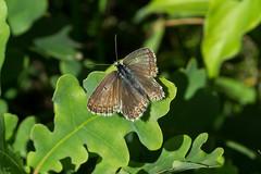 Silbergrner Bluling (planetvielfalt) Tags: lepidoptera lycaenidae lycaeninae polyommatini sachsenanhalt deutschland