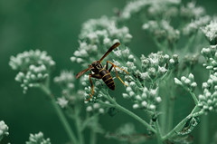 Exploring (Sky_PA (Catching up slowly- On/Off)) Tags: wasp beautifulearth amateurphotography canon rebelt6i t6i canoneos nature plant flowers little white green outdoors insect beautiful dof dephtoffield animalplanet pennsylvania lionslakepark lebanon closeup