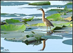 Green Heron on Big Lily Pads (Suzanham) Tags: heron greenheron waterfowl wading bird aquatic lilypad mississippi nature lake swamp noxubeewildliferefuge reflection wildlife thegalaxy pond water vegetation aquaticplant