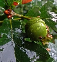 Quercy (Bricheno) Tags: renfrew macro rain acorn scotland escocia schottland cosse scozia esccia szkocja scoia    bricheno macromondays