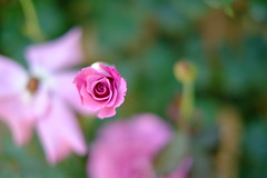 Little... (Minami45) Tags: xpro1 fujifilm fujinon xf35mm flower rose pink bokeh japan tokyo