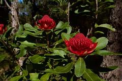 On the same tree (Val in Sydney) Tags: waratah flower fleur muogamarra australie australia nsw national park