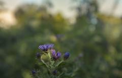 the asters have returned (amy buxton) Tags: amybuxton stlouis forestpark prairie savanna plants botanical fall fujifilmx100s