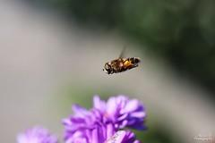 Eristale (Mariie76) Tags: animaux insectes macro macrophotographie vol sur place ailes diptre mouche eristale noir jaune orange fleur violette aster