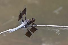 Common Whitetail Dragonfly -- Male (Plathemis lydia); Albuquerque, NM, Tingley Ponds Park [Lou Feltz] (deserttoad) Tags: insect animal dragonfly flora park pond odonate whitetail newmexico