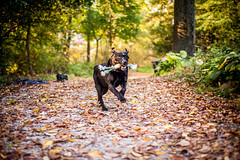 Run (pyathia) Tags: trees dog pet black fall leaves animal outdoors mixed woods labrador bokeh large rottweiler blackdog mixbreed largebreed largedog