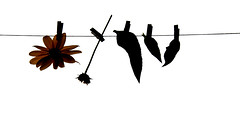 laundry day (brescia, italy) (bloodybee) Tags: autumn white black flower fall nature leaves silhouette backlight petals stem clips laundry hanging highkey clothesline pegs washing stalk vegetal jerusalemartichoke topinambur