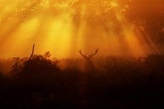 The Lone Stag (DaniConnor1995) Tags: park morning trees red sun cold male cool stag richmond deer rays mistry fogrich